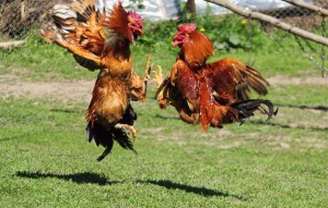 cockfighting breeds