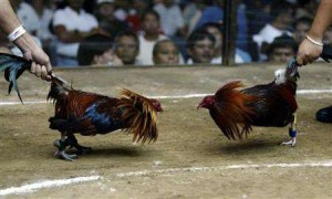 cockfighting championship