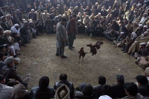 Cockfighting in Afghanistan