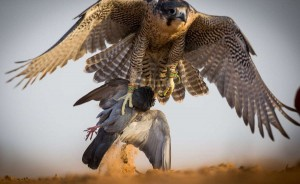 Falcons of Arabia