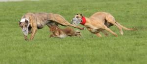 Greyhound racing Course