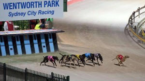 Greyhound racing in Australia